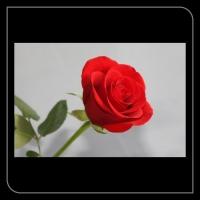 Roos rood